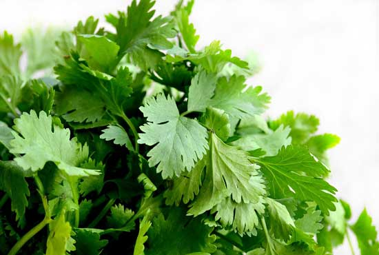 Cilantro coriander leaves