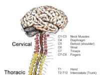 Spinal-Cord